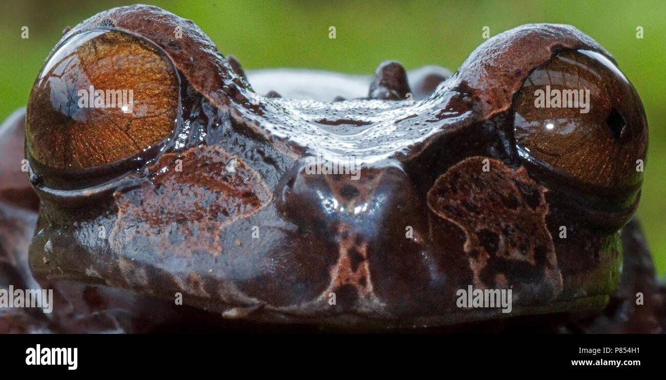Coronated Treefrog, Anotheca spinosa - Stock Image