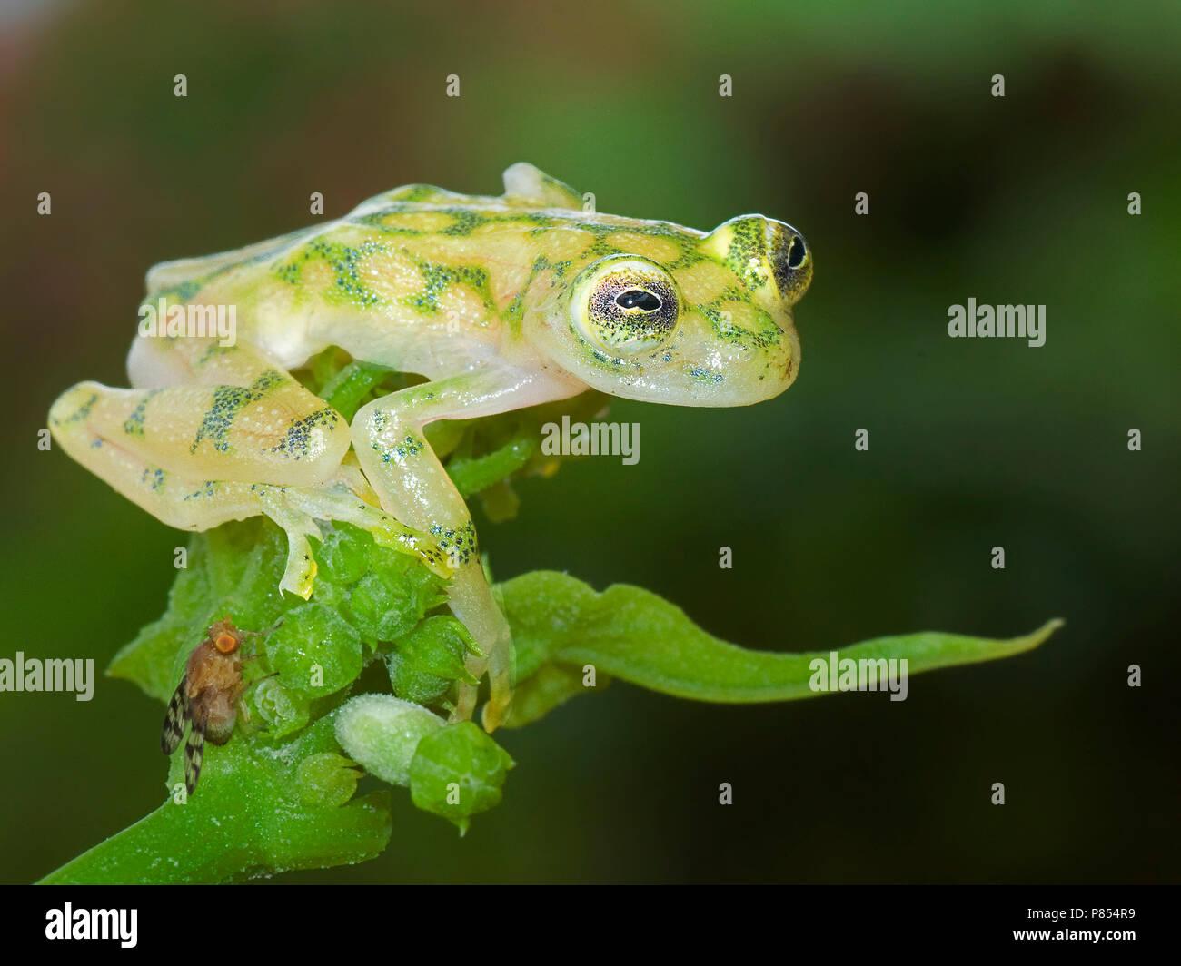 Glaskikker, Fleischmann's Glass Frog - Stock Image
