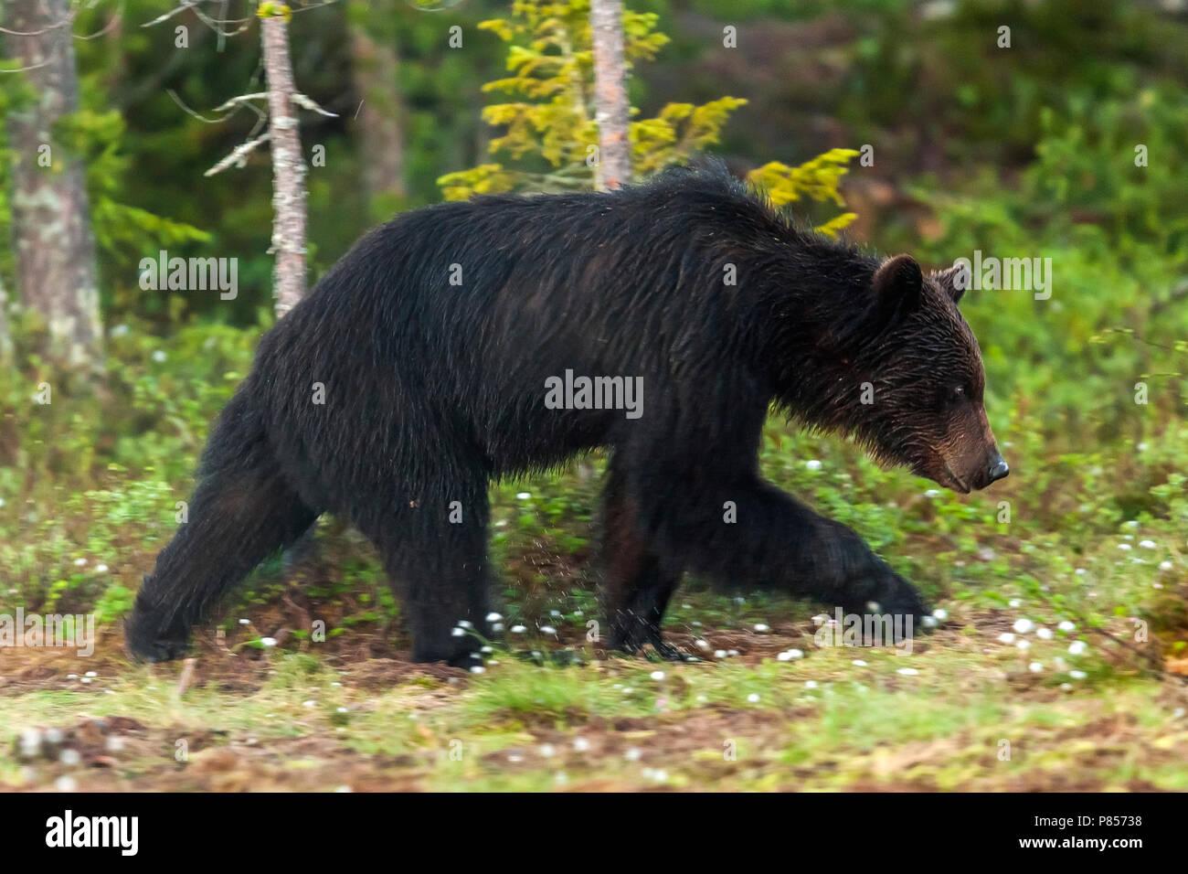 Eurasian Brown Bear walking into the wood, close to a lake near Vartius. June 2008. Stock Photo