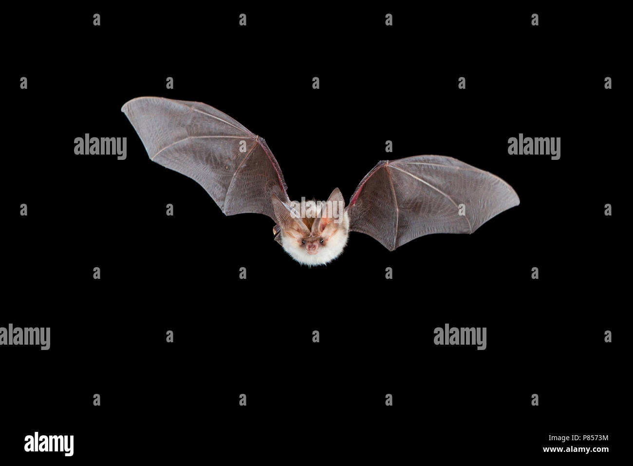 Grootoorvleermuis in de vlucht; Brown long-eared Bat in flight - Stock Image