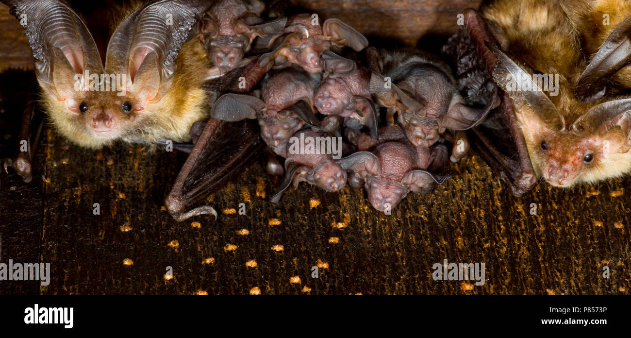 Grootoorvleermuis met jongen; Brown long-eared Bat with young - Stock Image