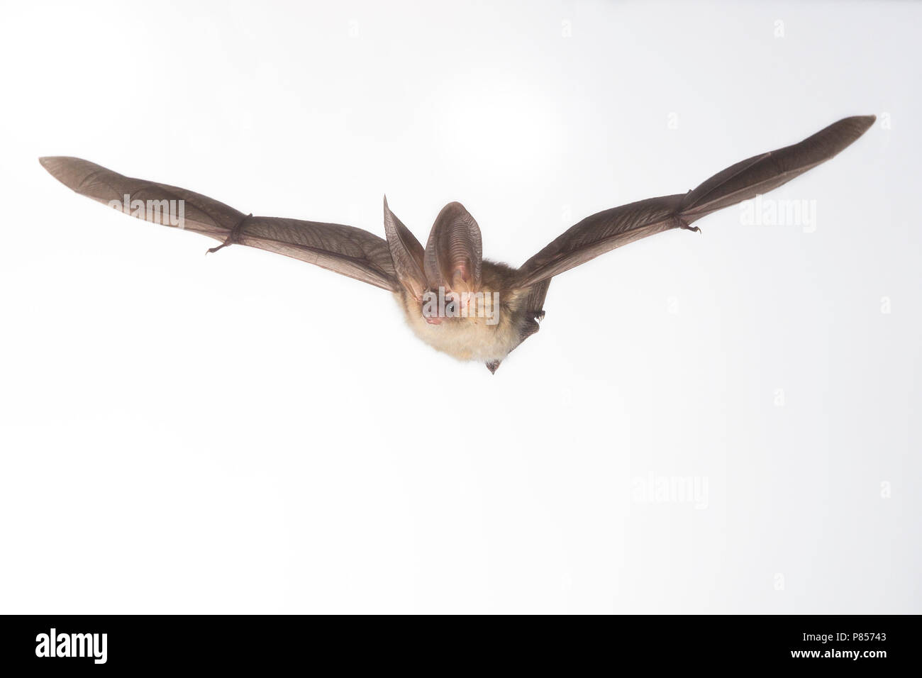 Gewone Grootoorvleermuis vliegend, Brown long-eared bat flying, - Stock Image