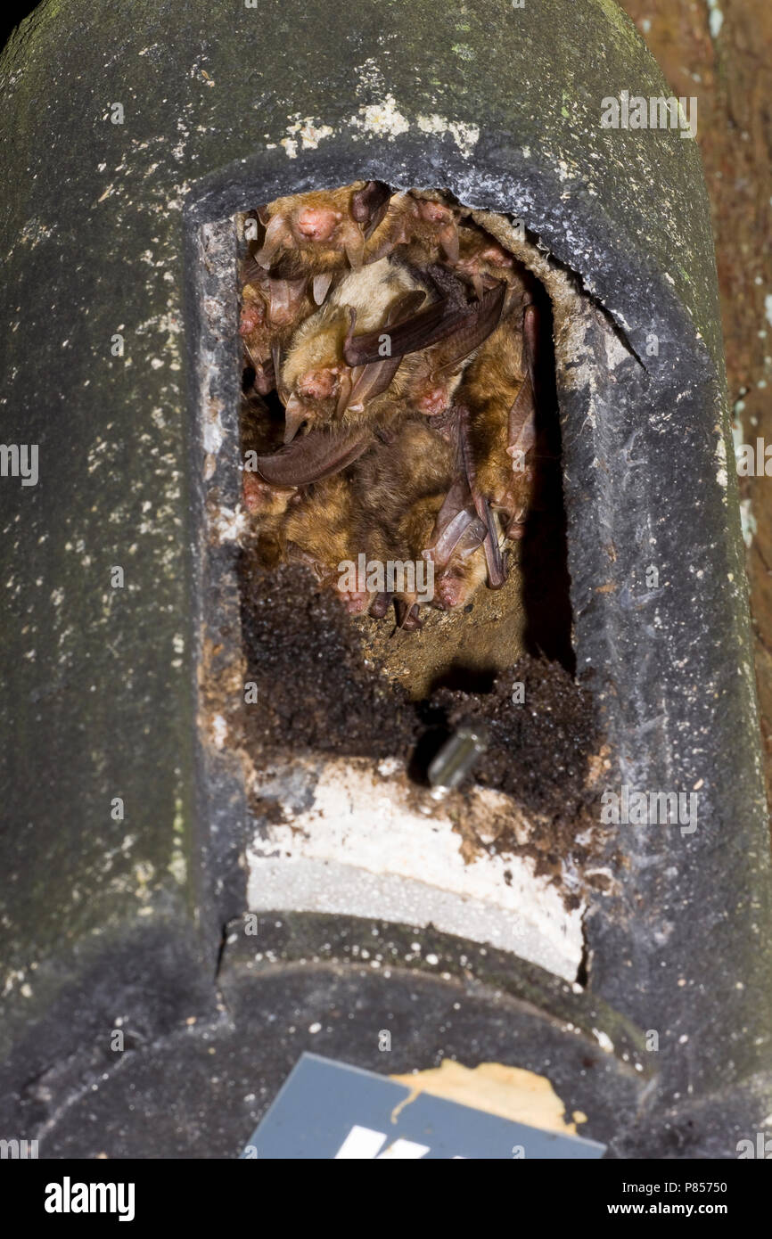 Grootoorvleermuizen in nestkast; Brown Long-eared Bats in nestbox - Stock Image