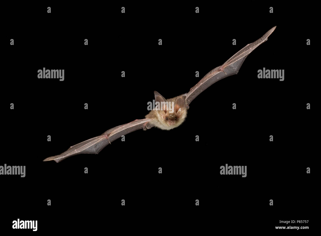Gewone grootoorvleermuis vliegend; Brown long-eared bat flying - Stock Image