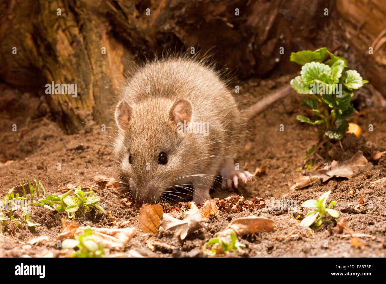 Bruine Rat; Brown Rat - Stock Image