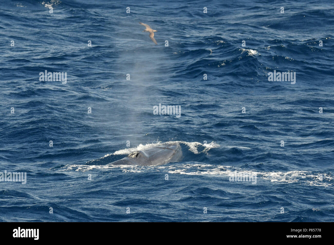 Bryde's Whale - Stock Image