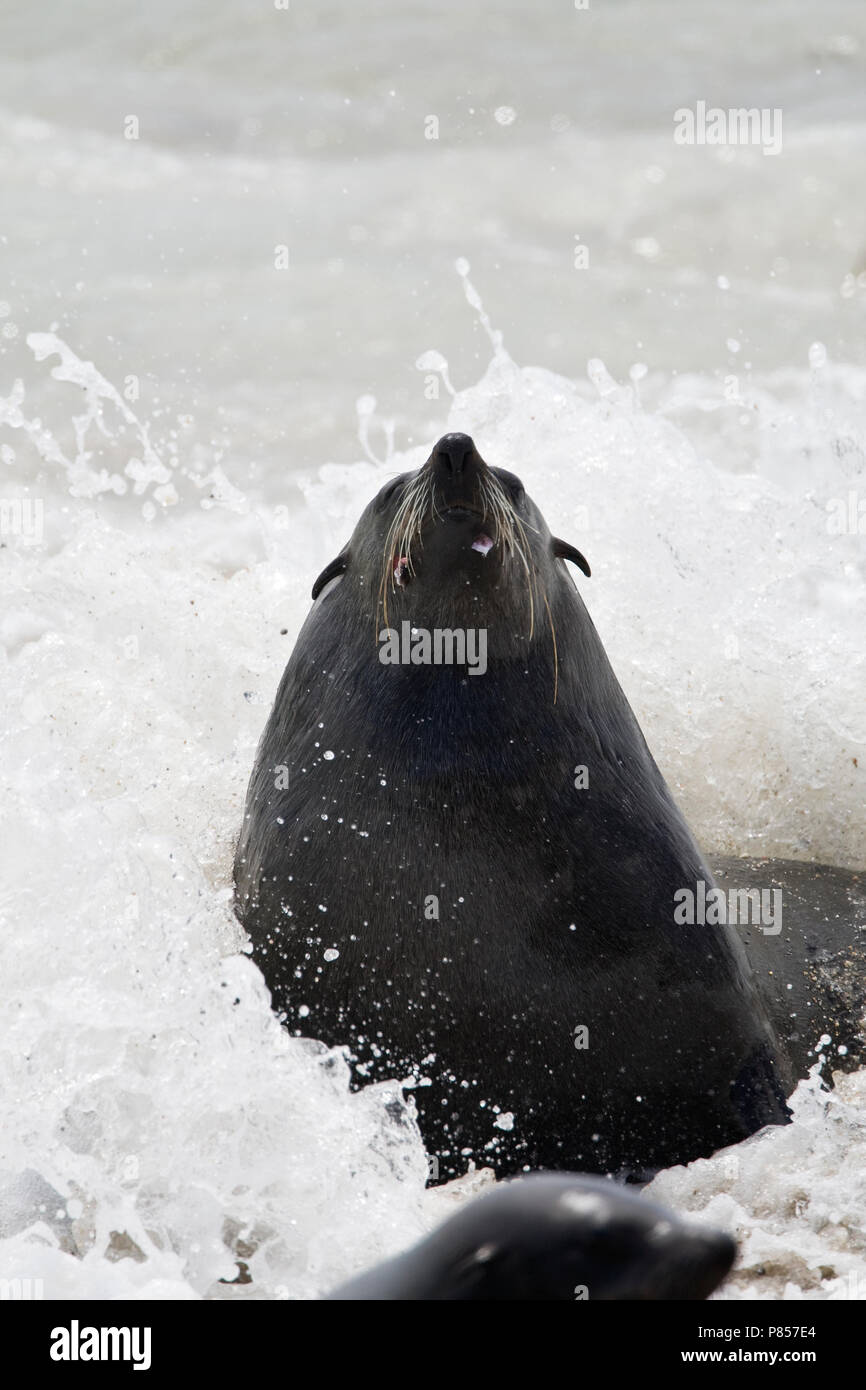 Kaapse pelsrob in de branding Namibie, Cape Fur Seal at breakers Namibia - Stock Image