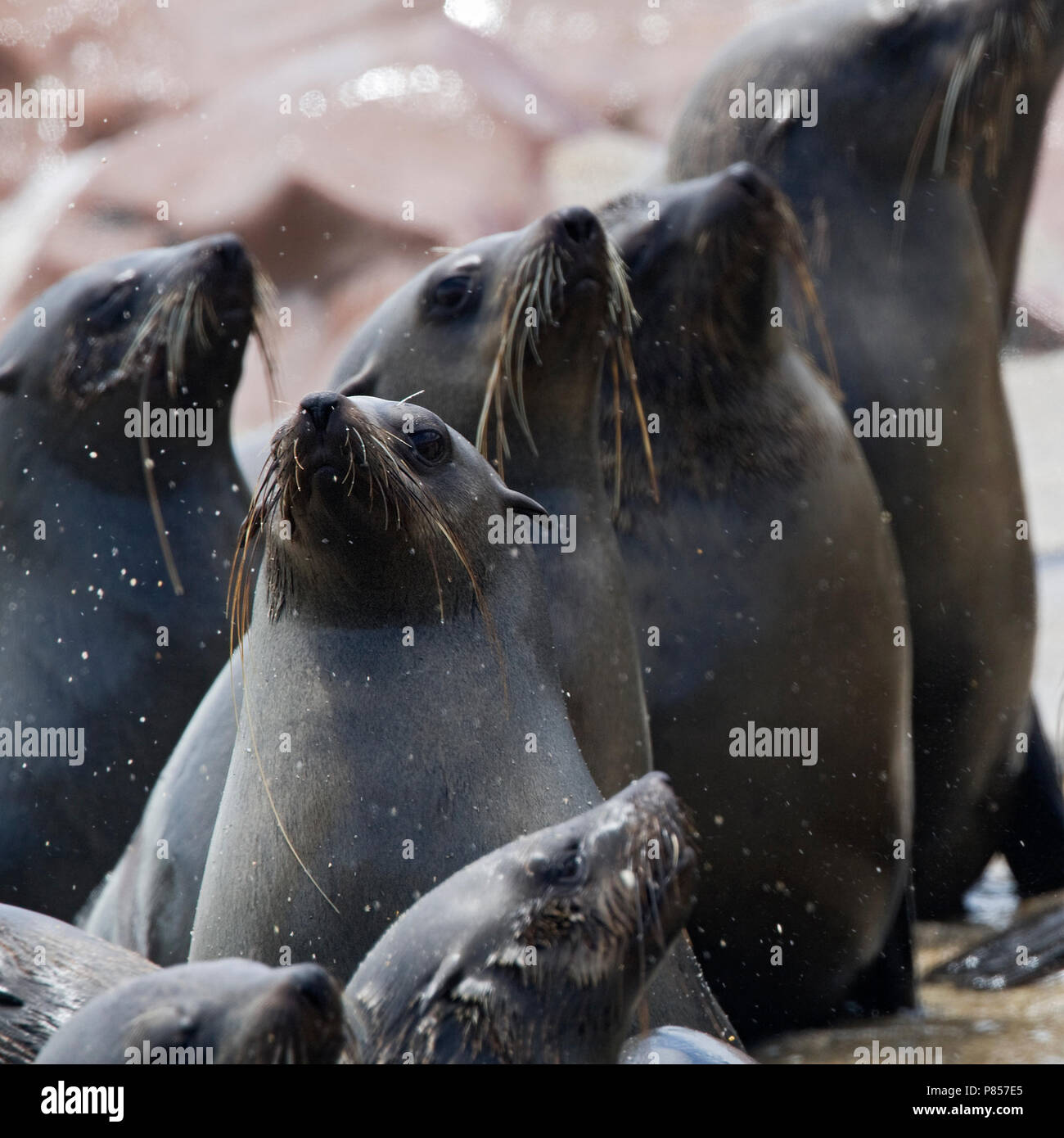Kaapse pelsrobben kolonie van Cape Cross Namibie, Cape Fur Seal colony at Cape Cross Namibia - Stock Image