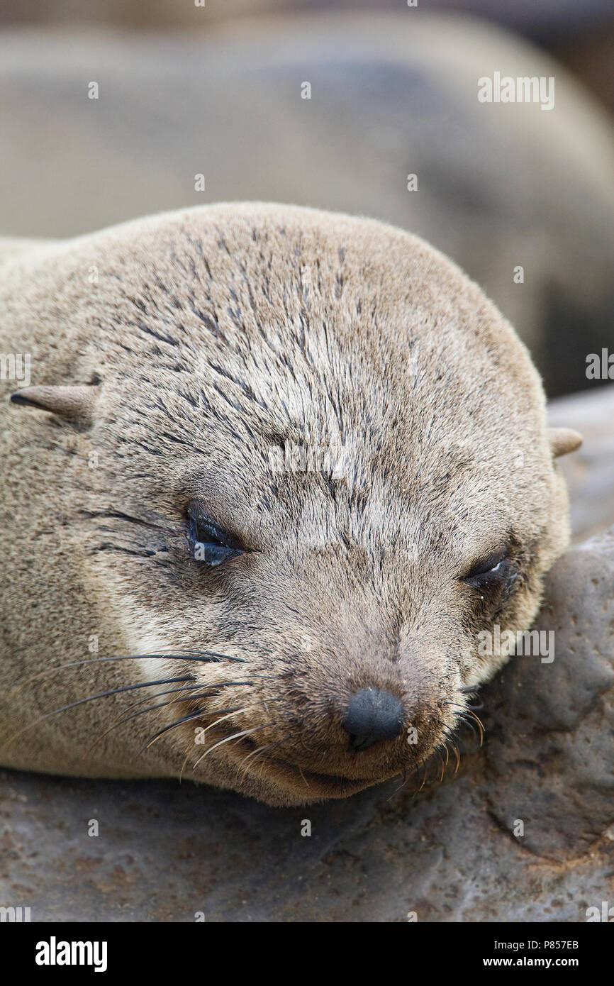 Kaapse pelsrob closeup van kop van vrouwtje Cape Cross Namibie, Cape Fur Seal close-up of head of female Cape Cross Namibia - Stock Image