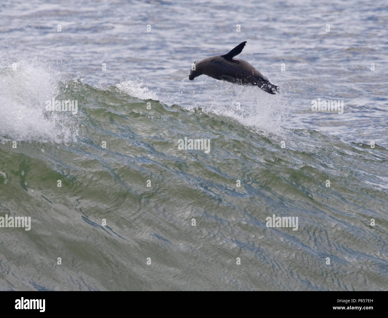 Kaapse pelsrob uit zee springend, Cape Fur Seal jumping out of the sea - Stock Image
