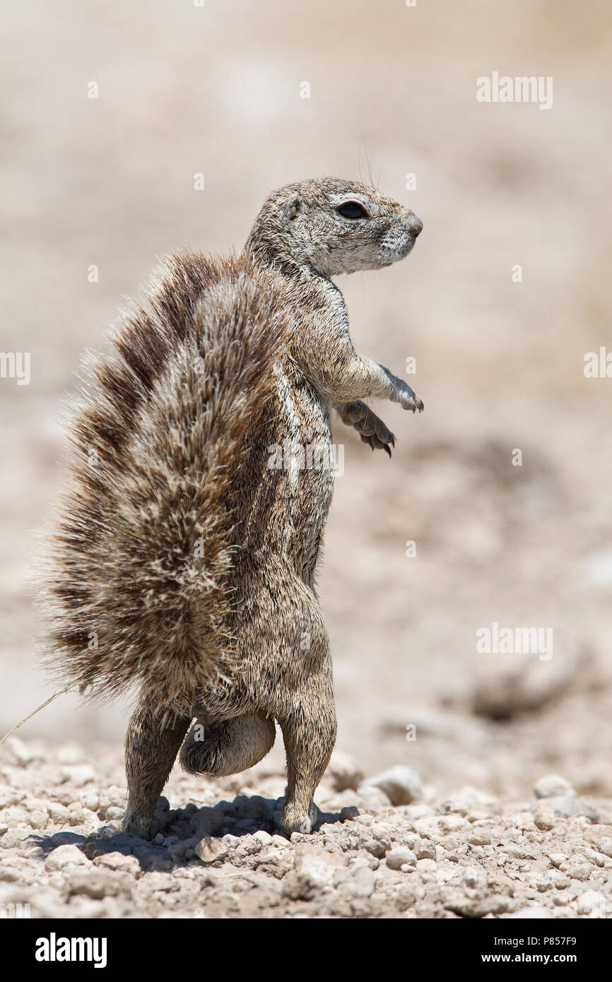 Kaapse grondeekhoorn mannetje Namibie, Cape Ground Squirrel male Namibia Stock Photo