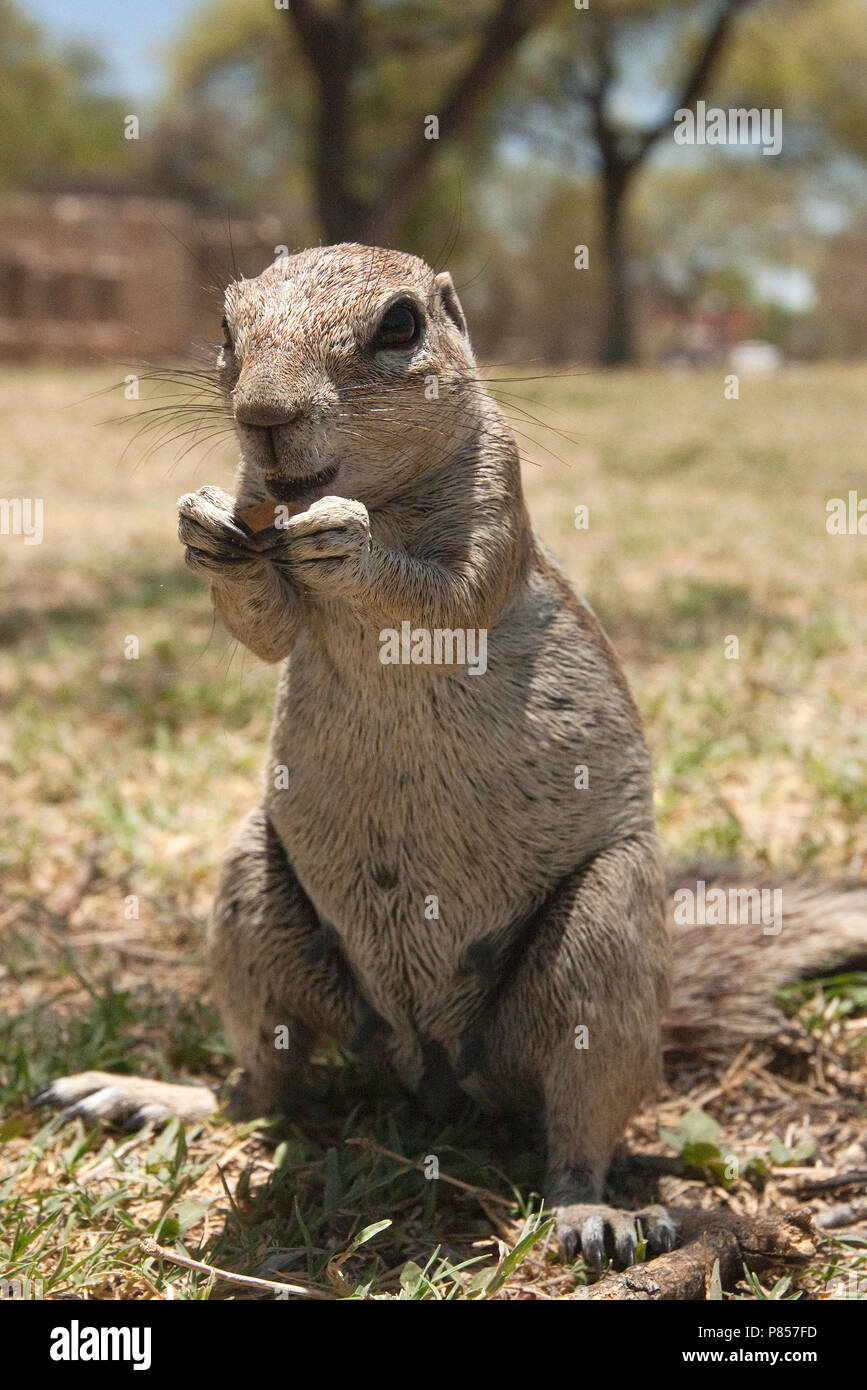 Kaapse grondeekhoorn etend Namibie, Cape Ground Squirrel eating Namibia - Stock Image