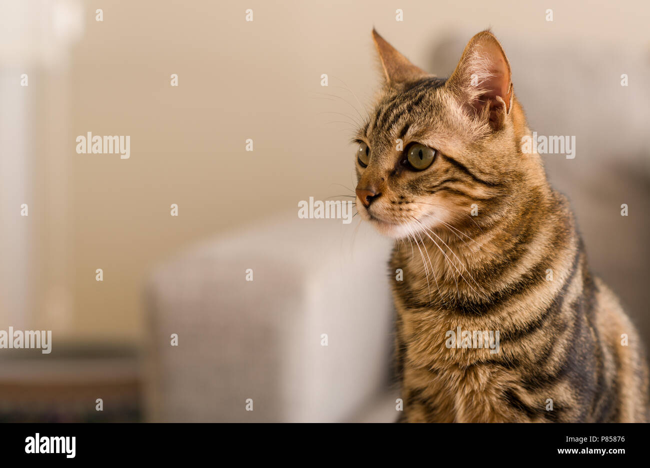 Domestic cat at home - Stock Image