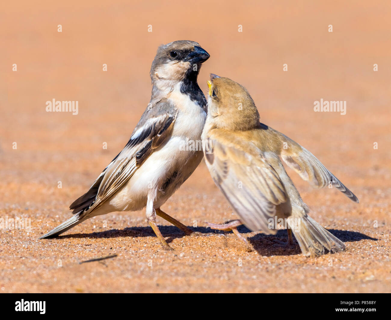 Male & juvenile Northern Desert Sparrow in Oued Jenna, Western Sahara. March 2011. - Stock Image