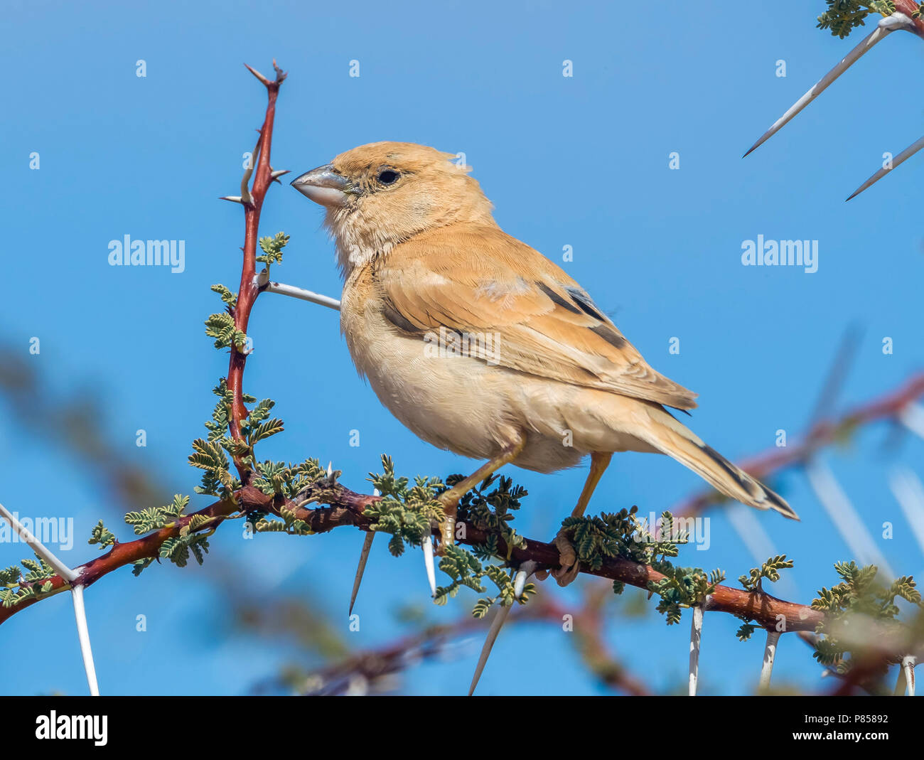 Adult female Northern Desert Sparrow perched on a acacia in Oued Jenna, Western Sahara. March 2011. - Stock Image