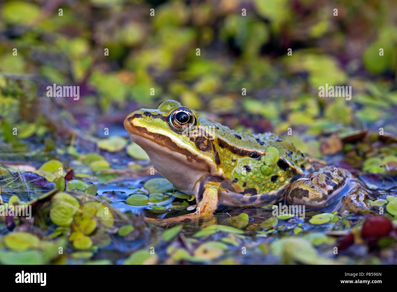 Kikker tussen het kroos; Frog between duckweed - Stock Image