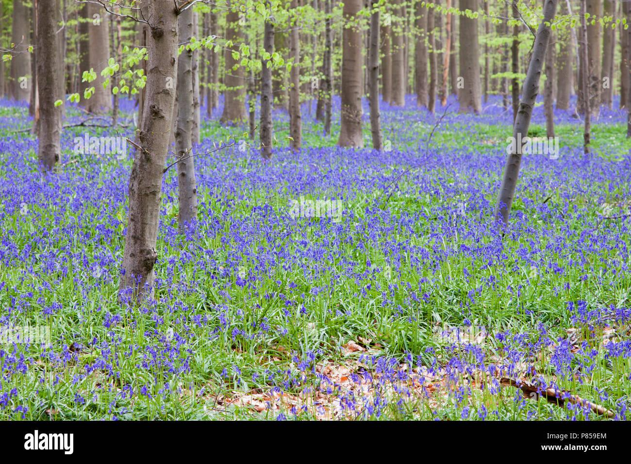 Wilde Hyacinth in het Hallerbos België; English Bluebell at Hallerbos Belgium Stock Photo