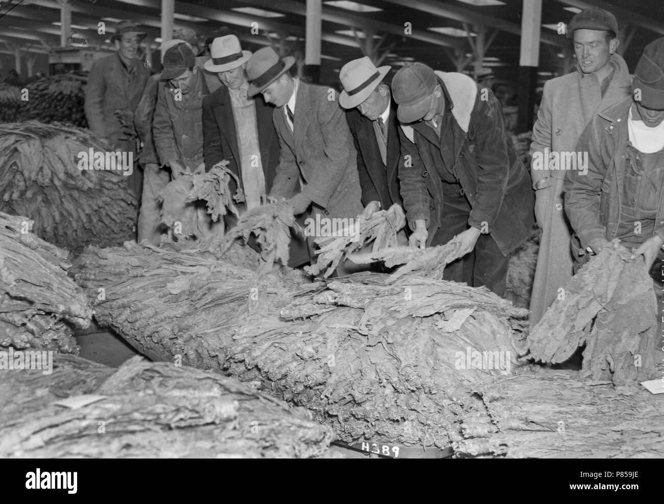 Tobacco buyers inspect the offerings at a warehouse in Weston, Missouri, ca. 1950. - Stock Image