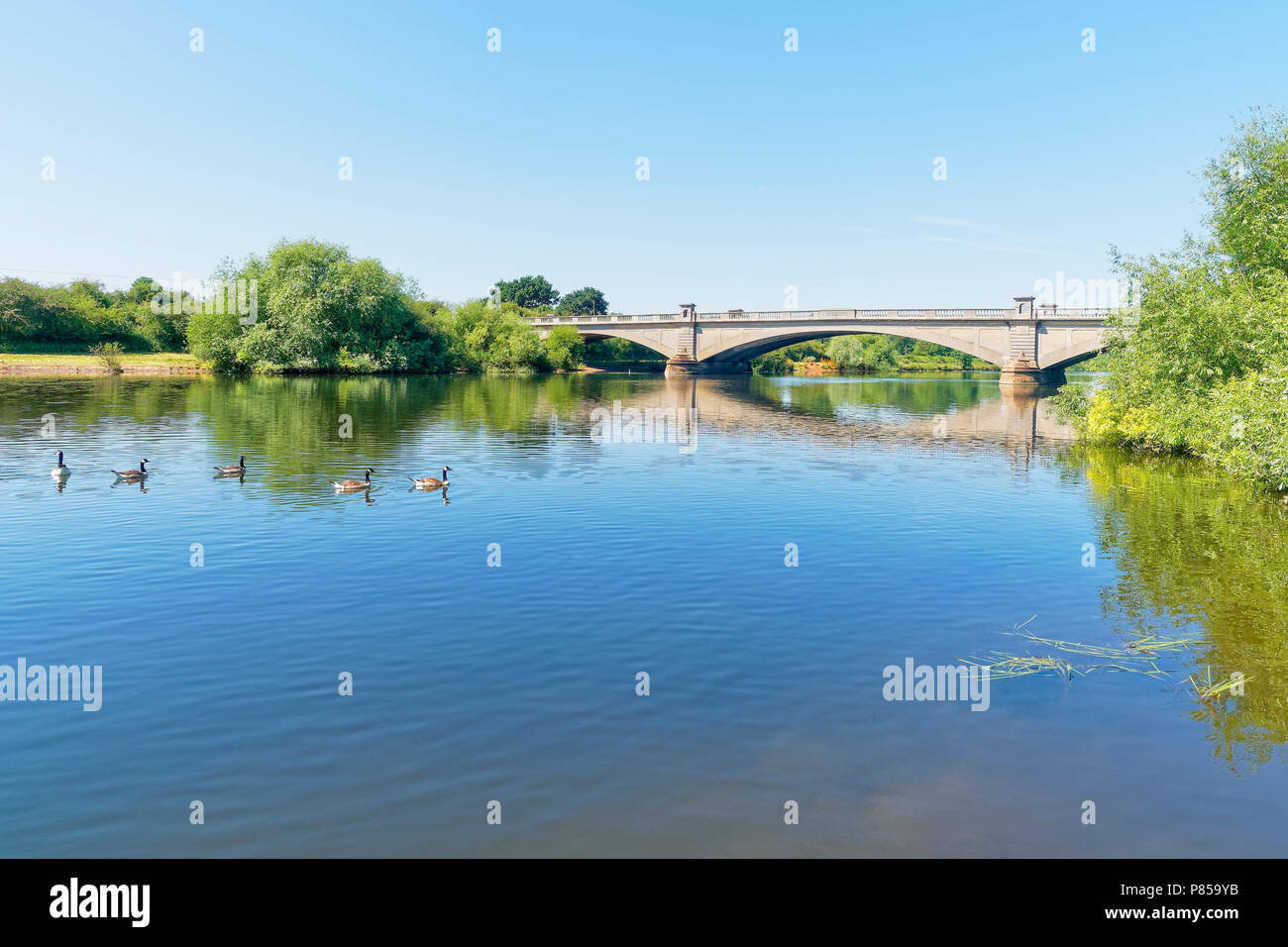 Five Canada Geese swim on the River Trent at Gunthorpe, Nottinghamshire, under a cloudless summer sky. - Stock Image