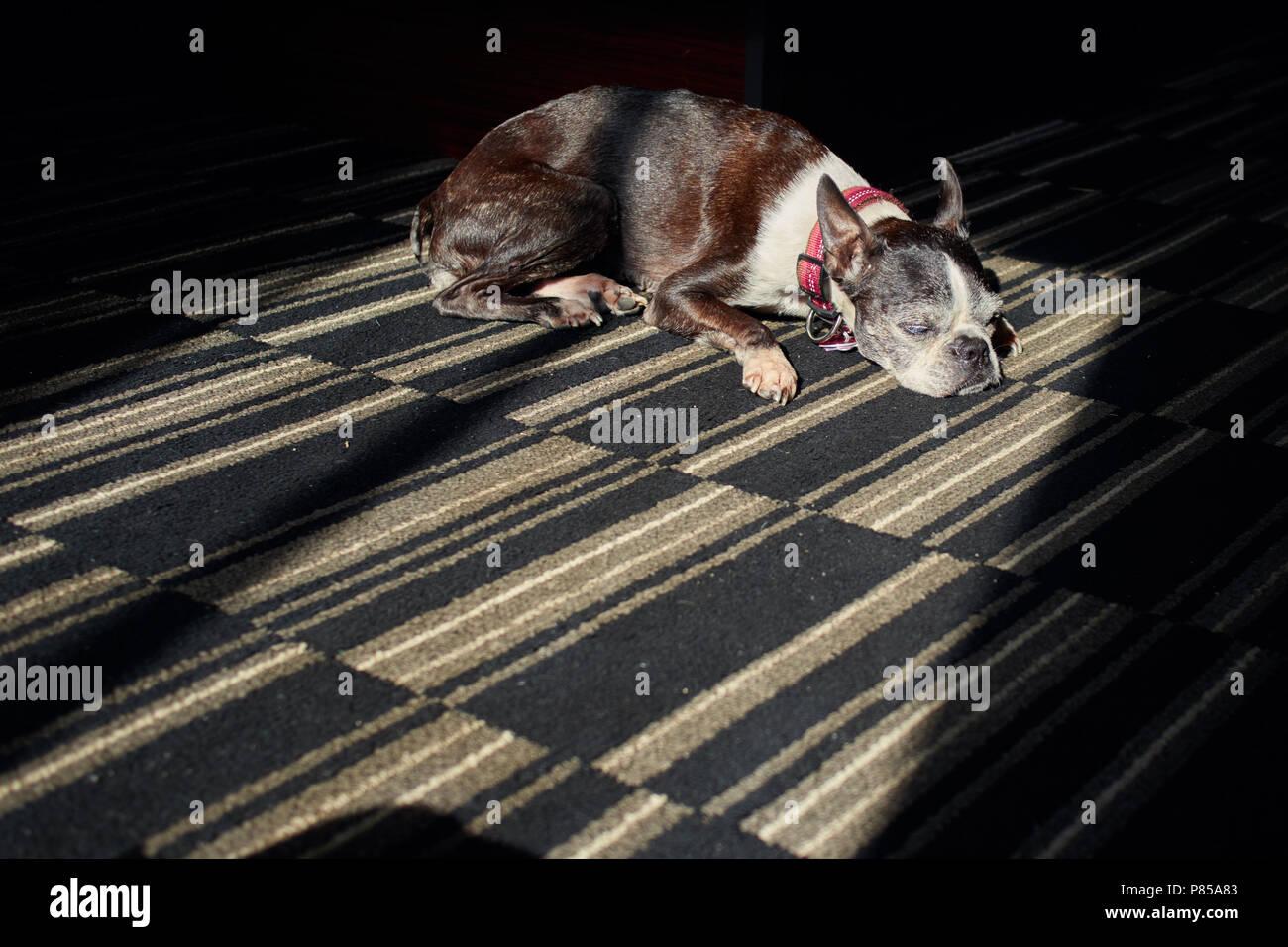 Elderly Boston Terrier dog sleeping in a sunbeam on carpet in a hotel room - Stock Image