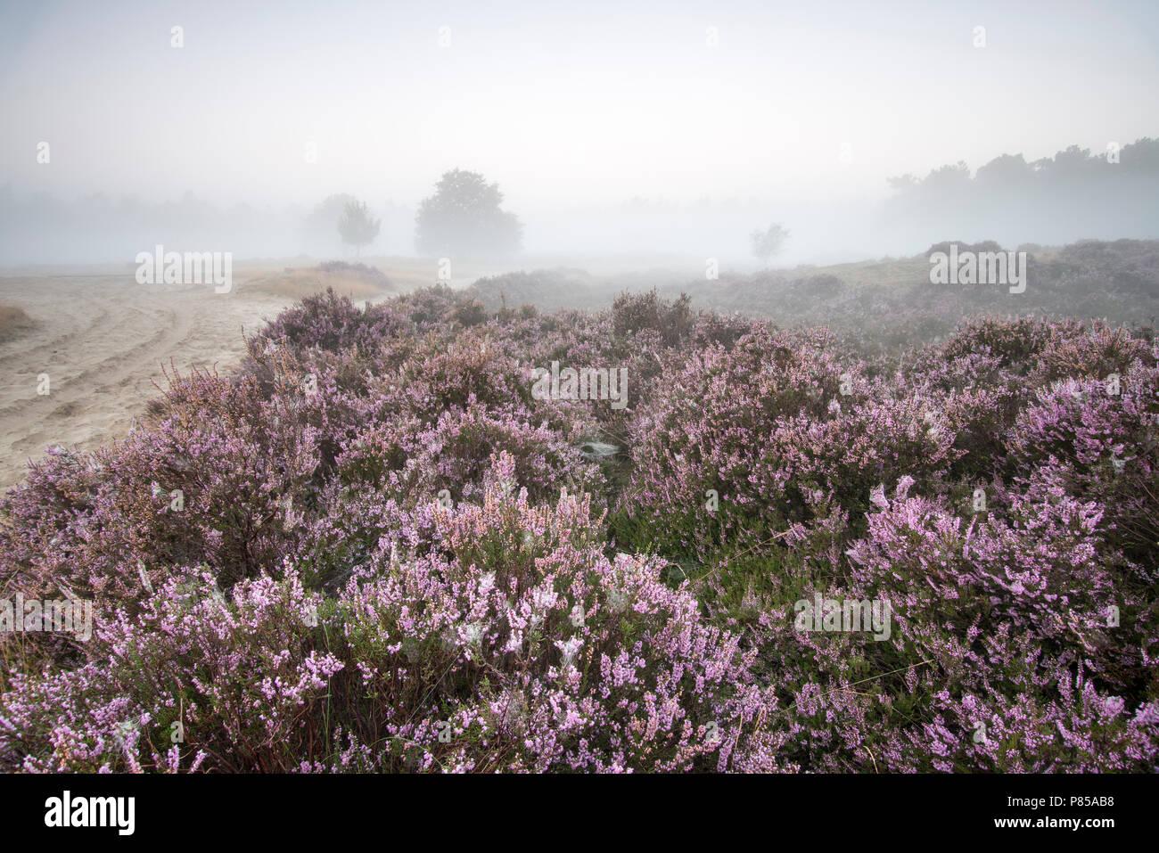 N.P. Looonse en Drunense Duinen, mistige zonsopkomst, foggy sunrise - Stock Image