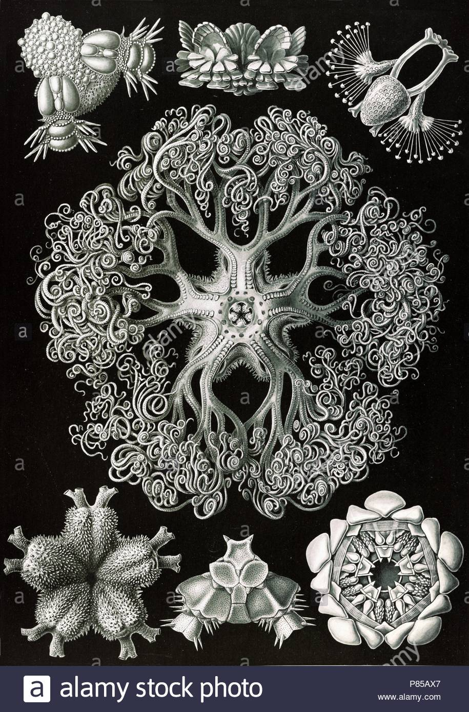 Illustration shows starfish and details of starfish anatomy ...