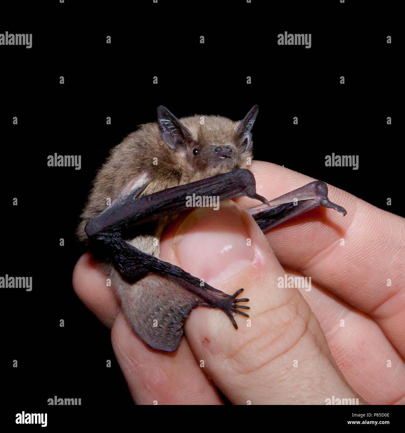 Ruige dwergvleermuis in de hand voor onderzoek, Nathusius' pipistrelle in hand for research - Stock Image