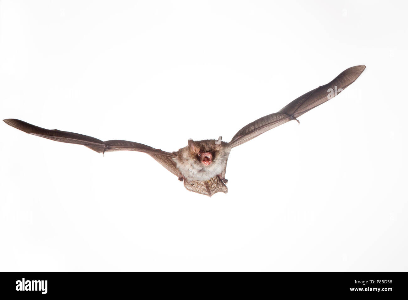 Franjestaart vliegend, Natterer's bat flying - Stock Image