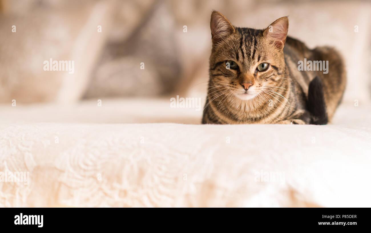 Beautiful domestic cat at home - Stock Image