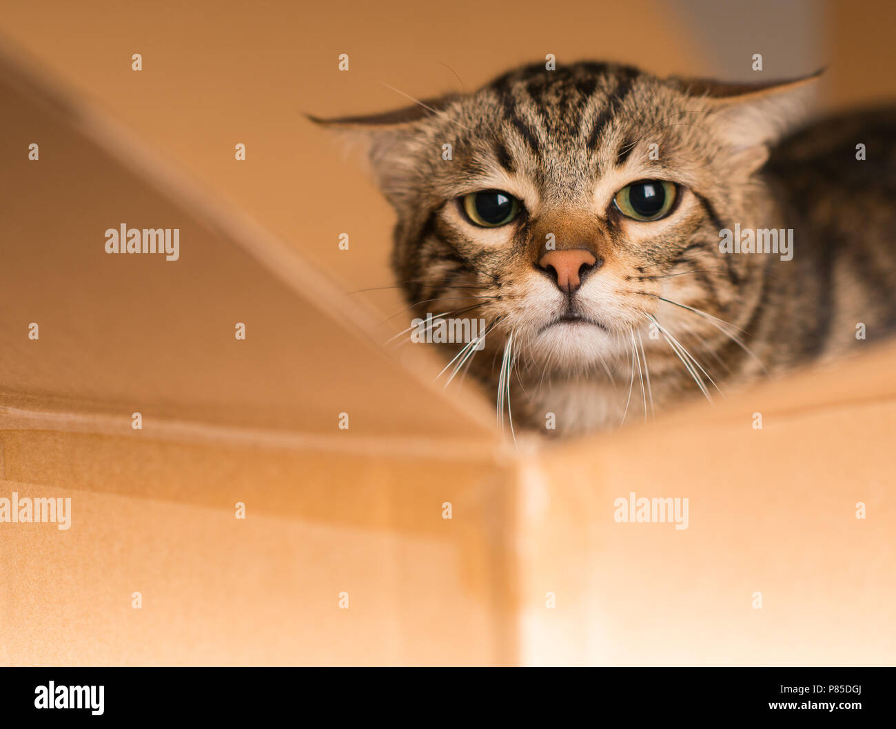 Beautiful cat playing hide and seek in a cardboard box - Stock Image