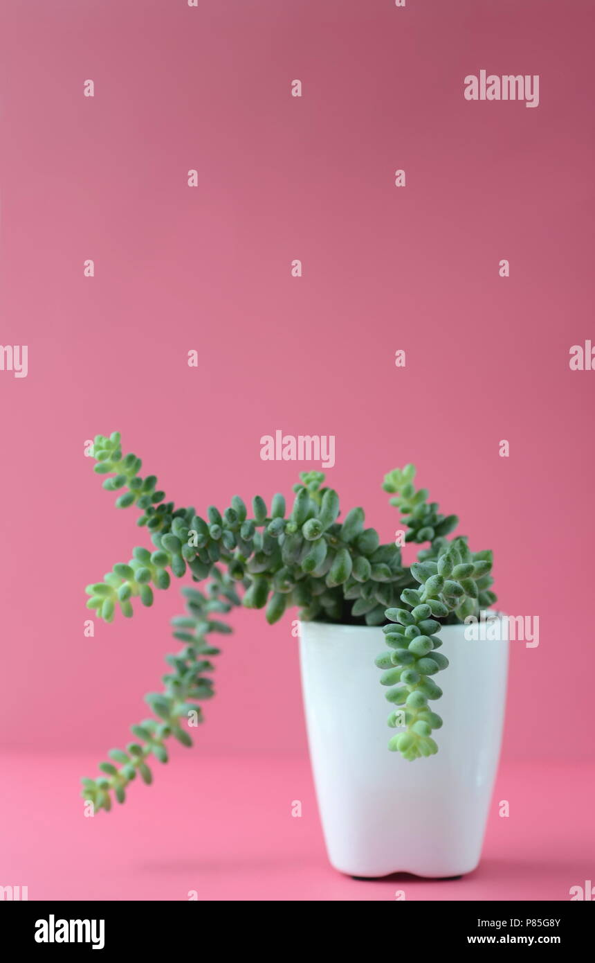 Succulent and cactus in a white flower pot on a solid bright color background with copy space. Modern minimalist home decor. - Stock Image