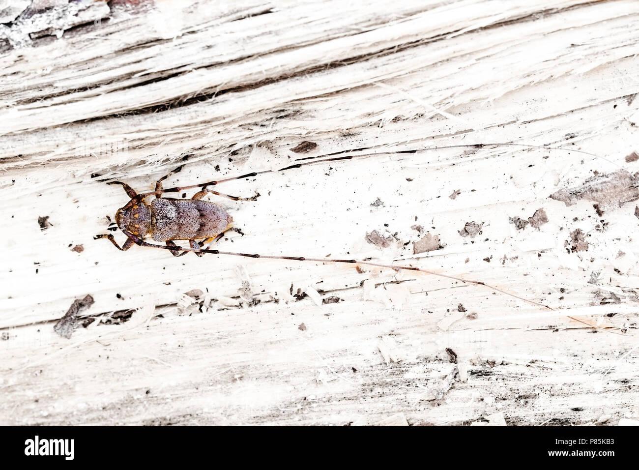 Timberman beetle, Timmerboktor, Acanthocinus aedilis - Stock Image