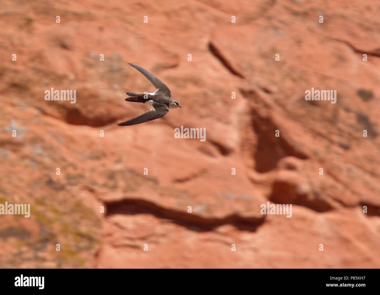 White-throated Swift (Aeronautes saxatalis saxatalis) Like all swifts, they use their short legs only for clinging onto vertical surfaces or wires, an - Stock Image