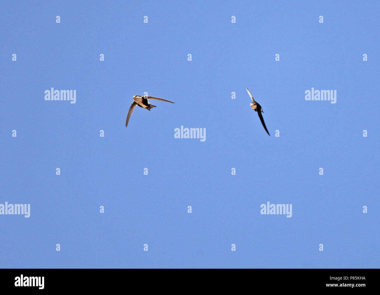 White-throated Swift (Aeronautes saxatalis saxatalis) Like all swifts, they use their short legs only for clinging onto vertical surfaces or wires, an Stock Photo