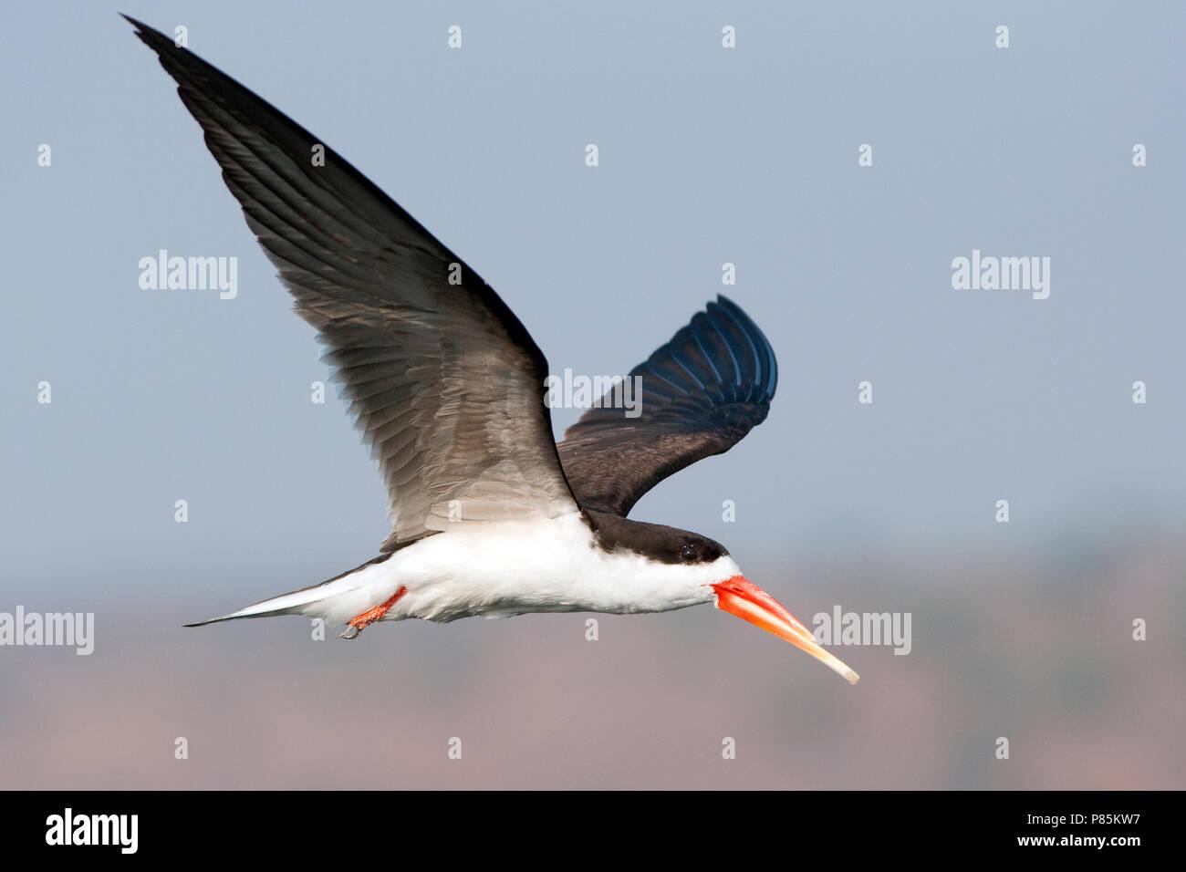 African Skimmer, Afrikaanse Schaarbek - Stock Image