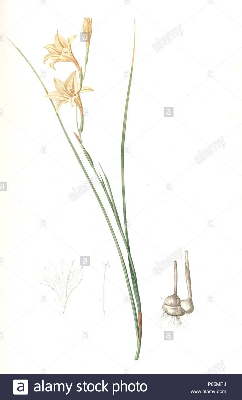 Gladiolus tristis, Glaïel ondulé , Marsh Afrikaner; Square-leaved Corn-flag, Redouté, Pierre Joseph, 1759-1840, les liliacees, 1802 - 1816. - Stock Image