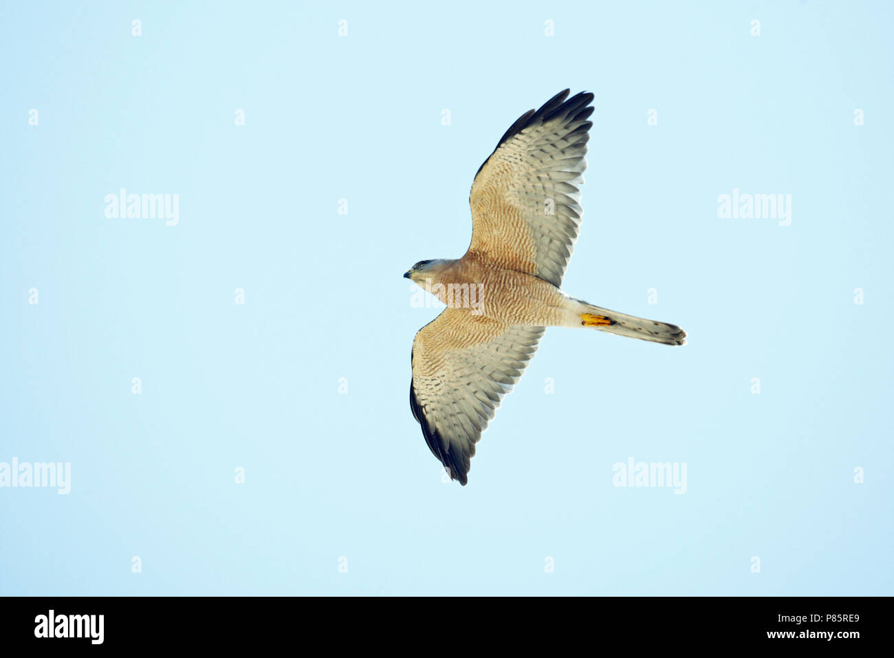 Vrouwtje Balkansperwer in vlucht, Levant Sparrowhawk (Accipiter brevipes) adult male in flight - Stock Image