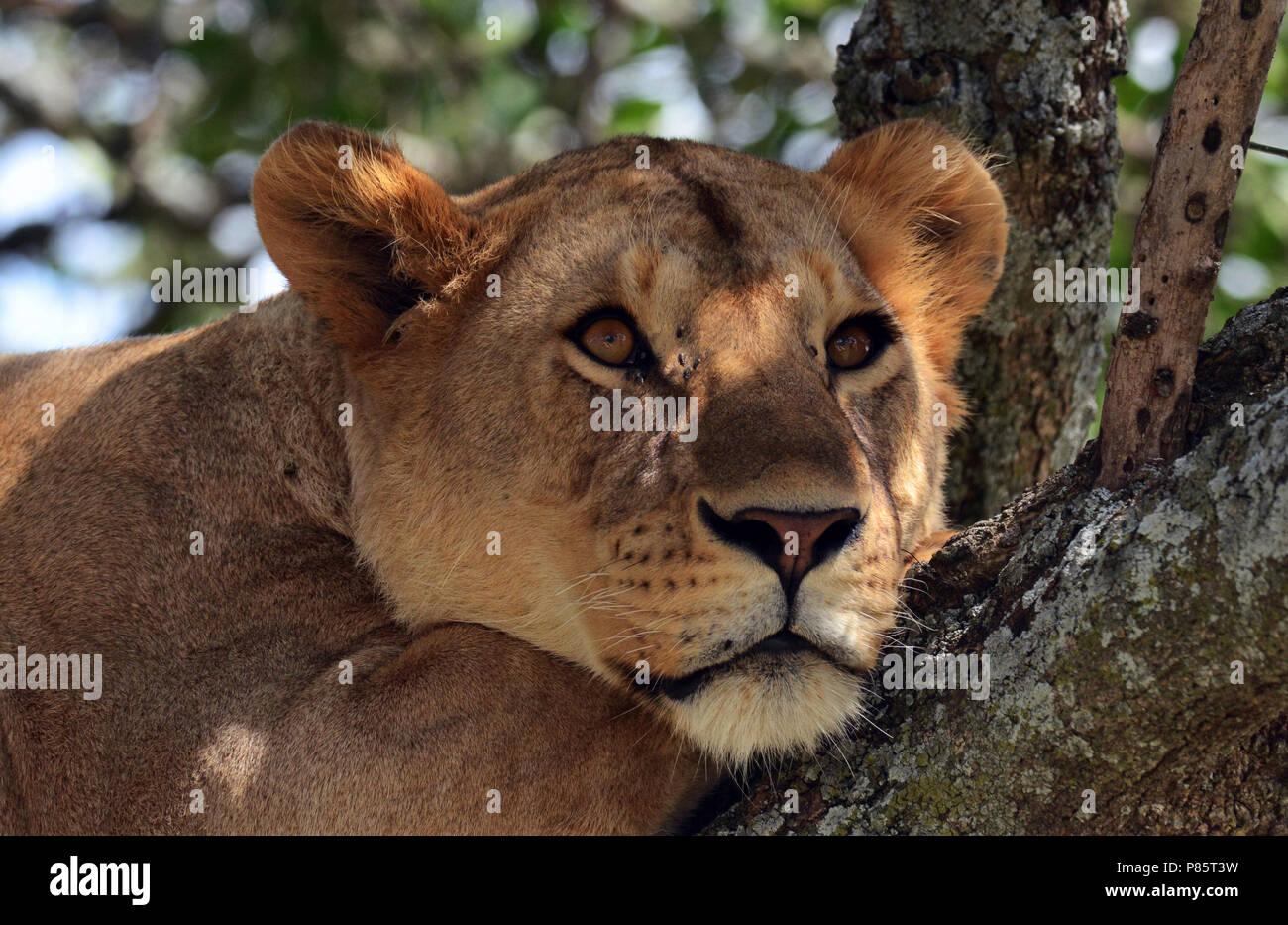Afrikaanse Leeuw in boom, African Lion in tree - Stock Image