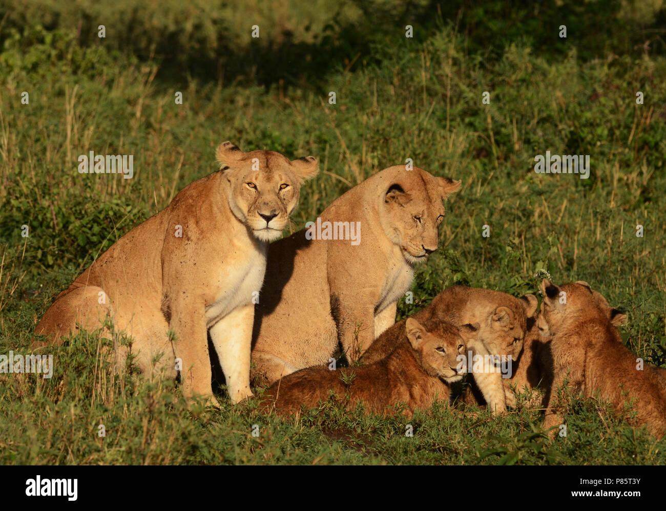 Afrikaanse Leeuwen met jongen, African Lions with young - Stock Image