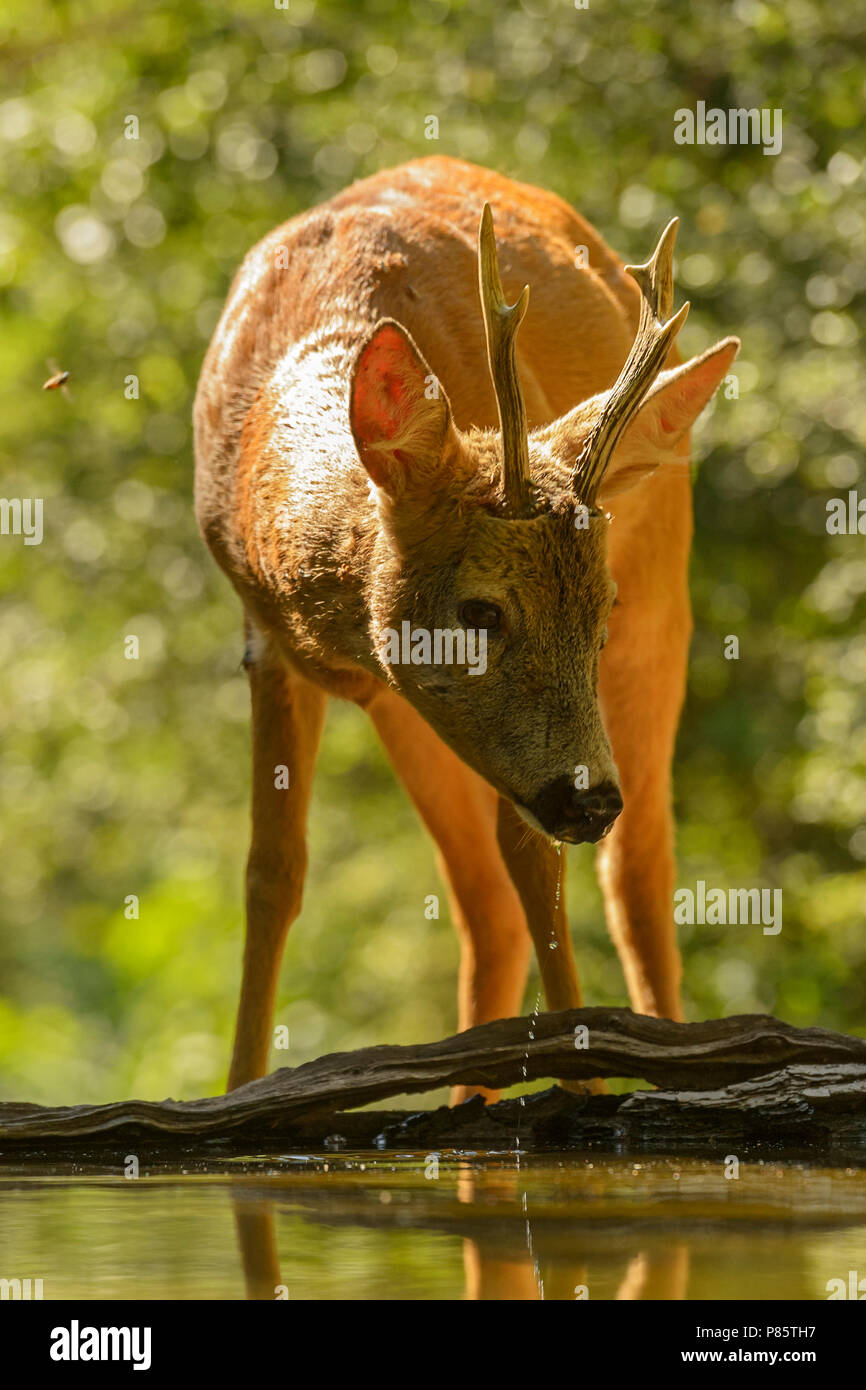 European Roe Deer - Capreolus capreolus, common deer from European forests, woodlands and meadows. - Stock Image