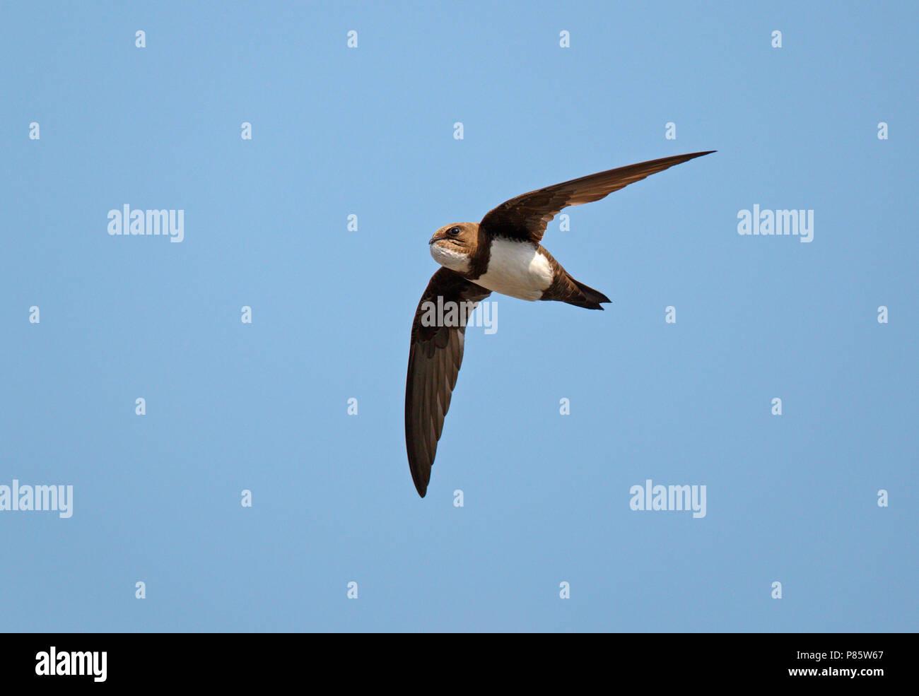 Vliegende Alpengierzwaluw met volle krop;Flying Alpine Swift Stock Photo