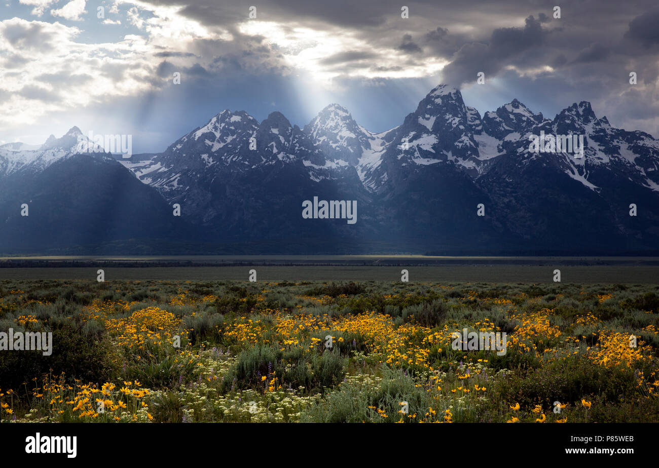 WY02753-00...WYOMING - Field of wild flowers along the Antelope Flats Road in Grand Teton National Park. - Stock Image
