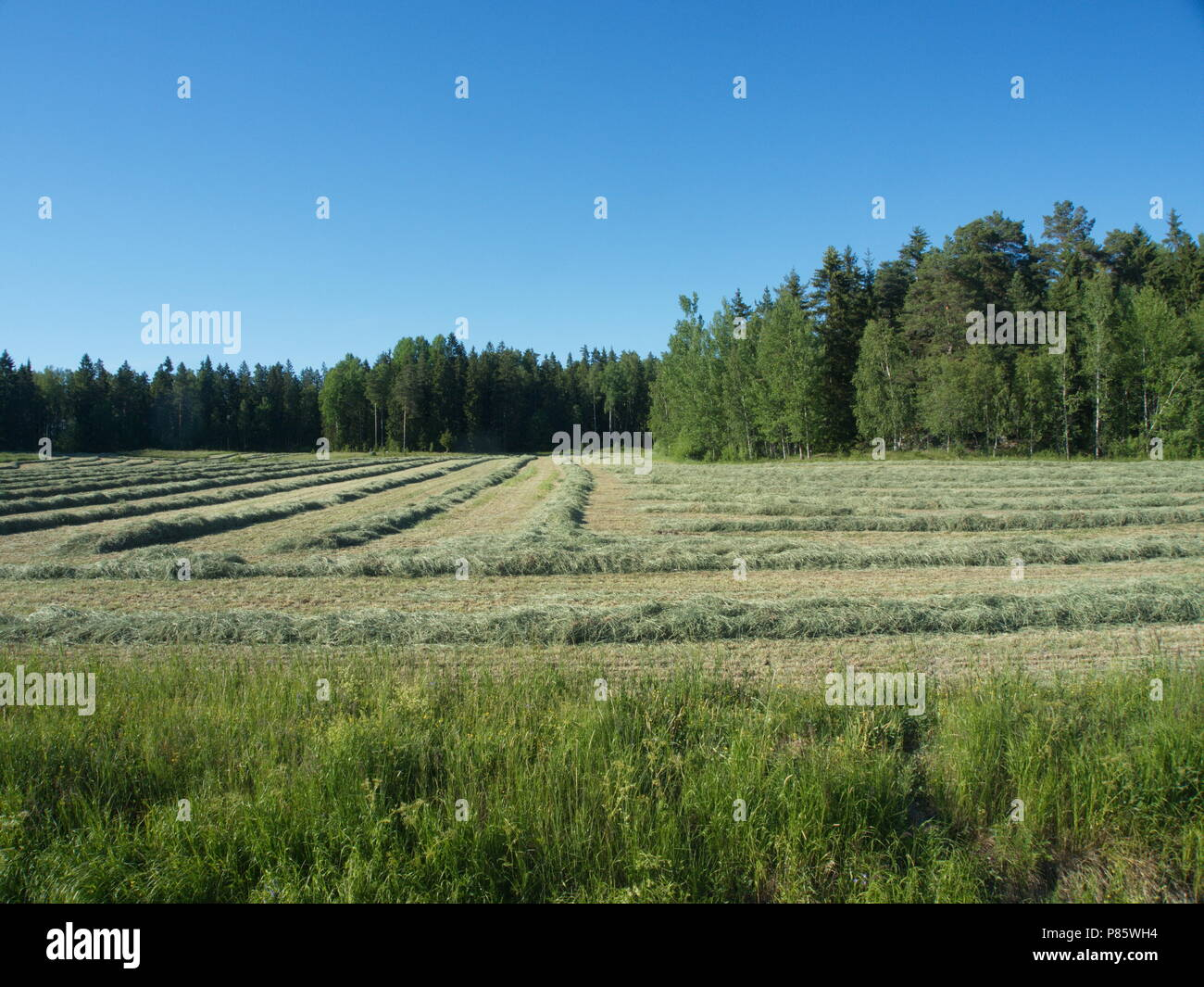 swedish field with drying hay - Stock Image