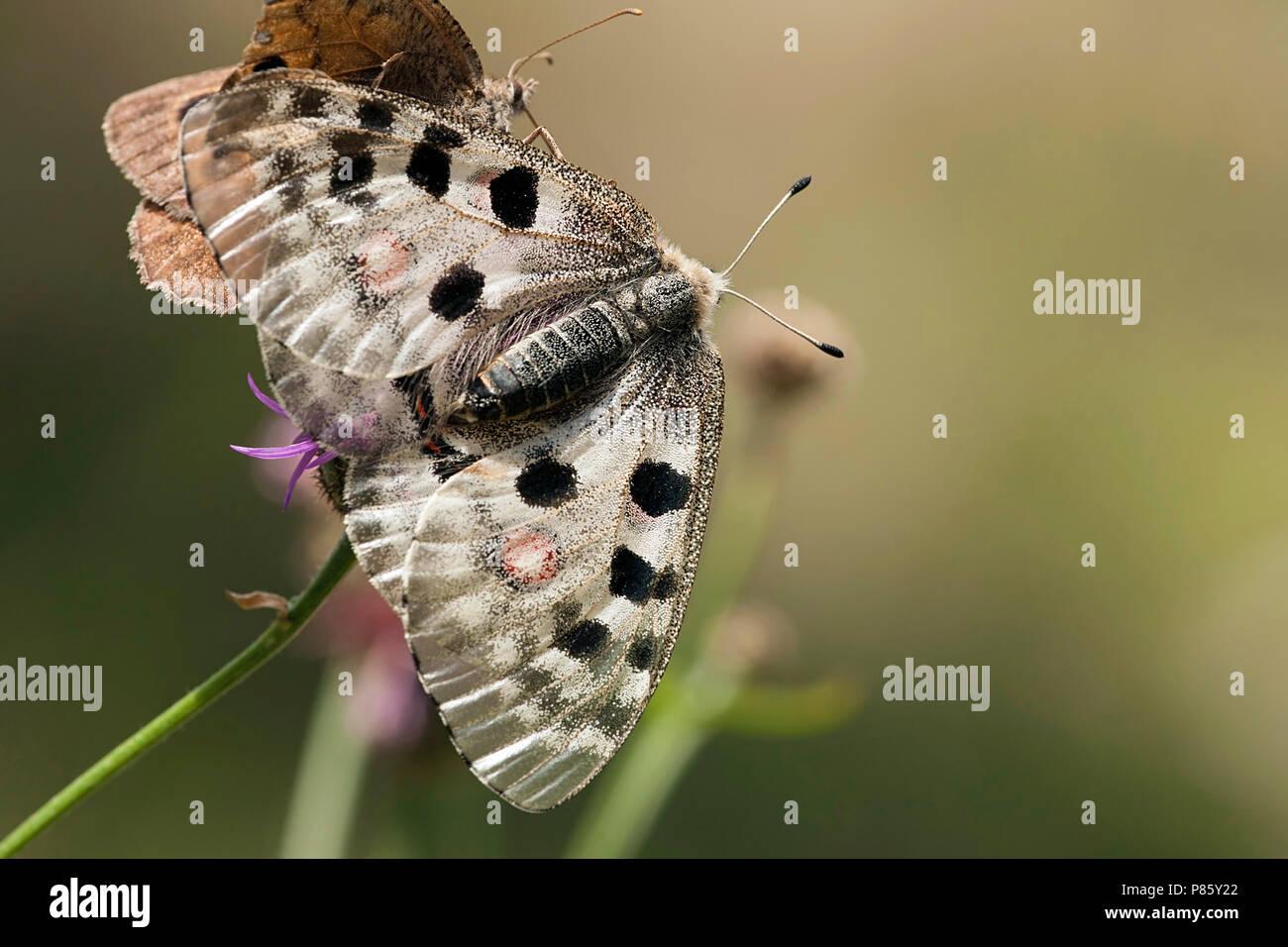 Apollovlinder / Apollo (Parnassius apollo) Stock Photo