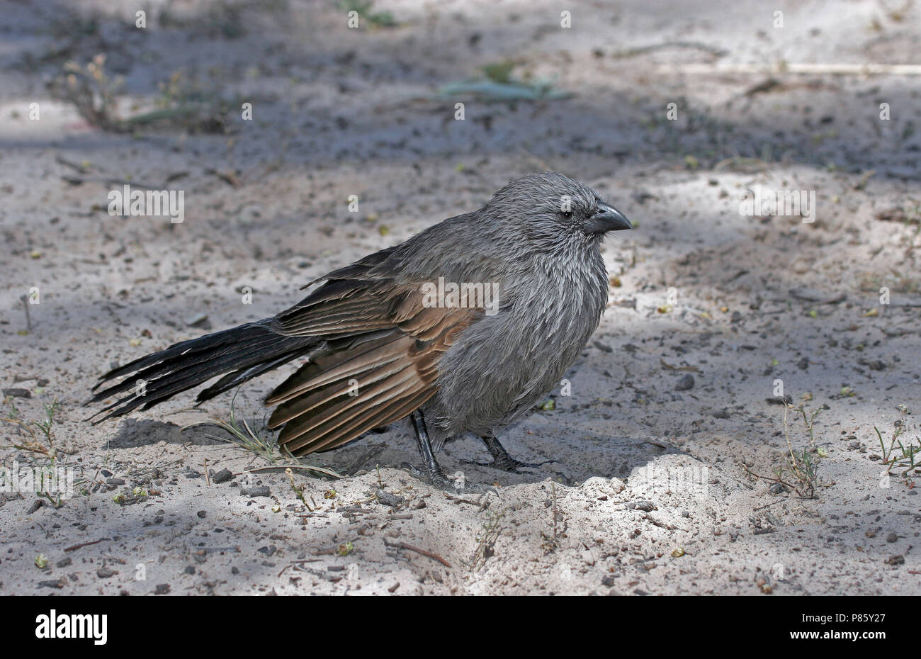 Apostlebird (Struthidea cinerea), a quick-moving, gray or black bird and native to Australia often travelling in groups of about 12; for this reason t - Stock Image