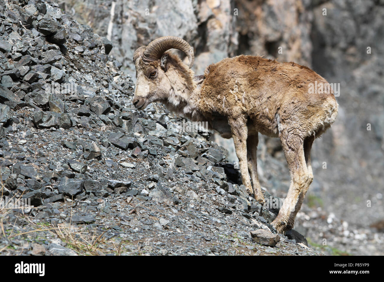 Asian mountain goat possible