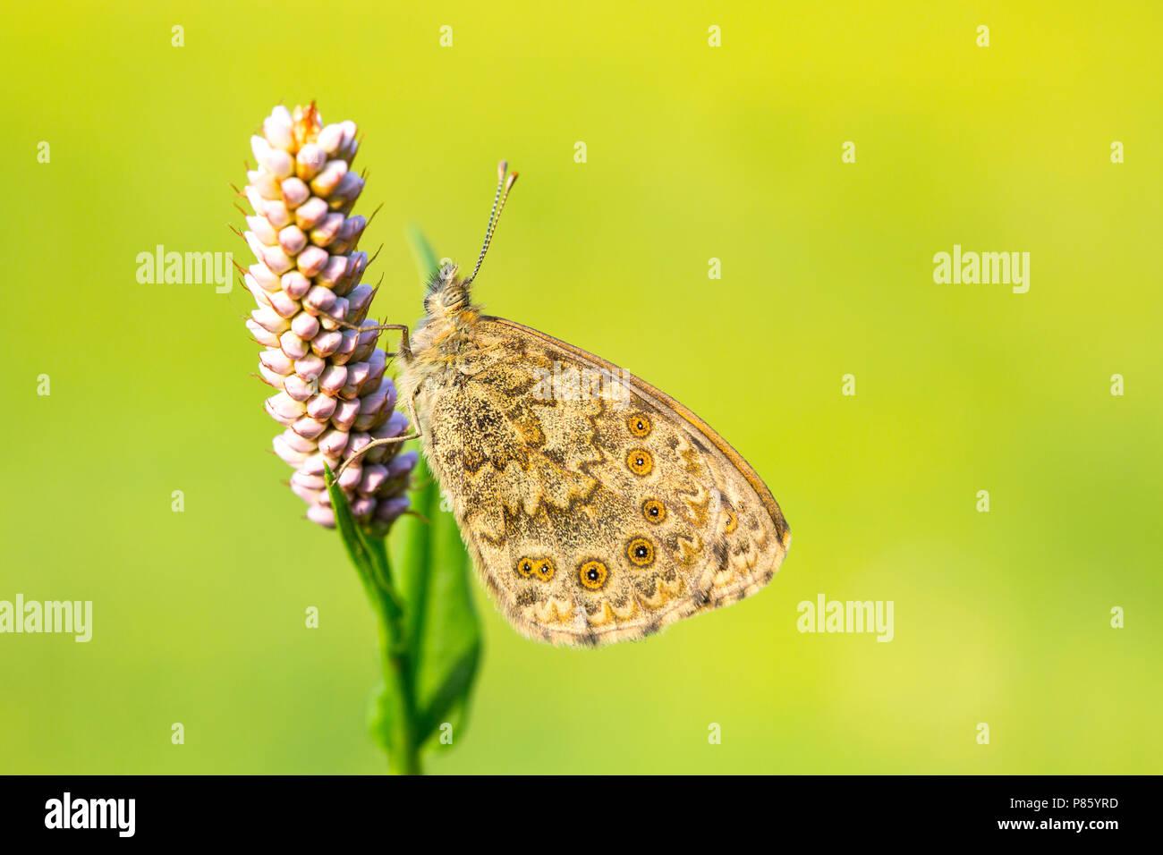 Argusvlinder, Wall Brown - Stock Image