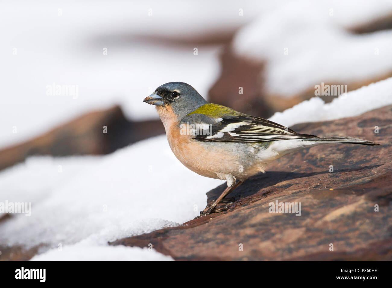 Atlas Chaffinch - Afrikanischer Buchfink - Fringilla coelebs ssp. africana, Morocco, male - Stock Image