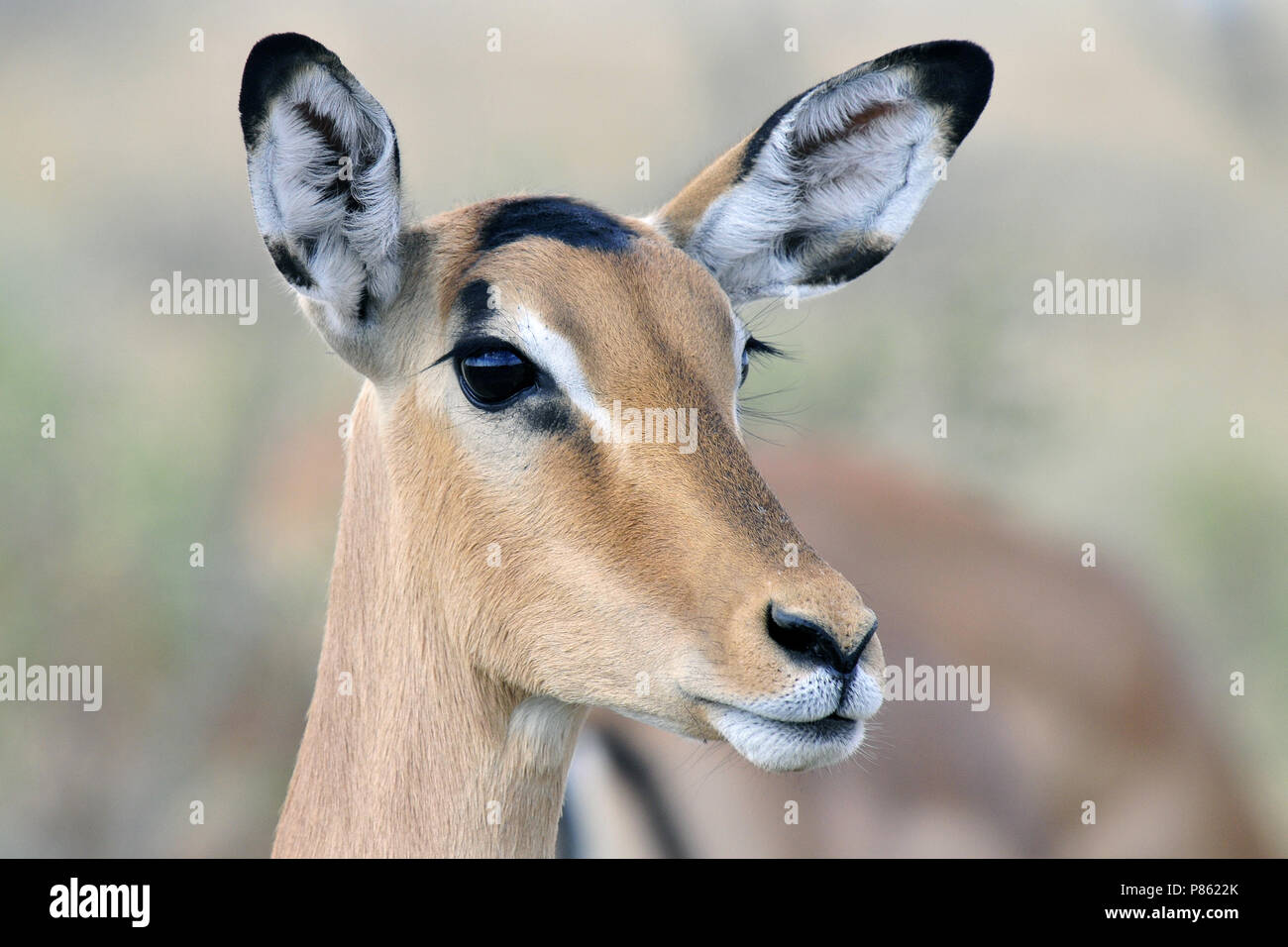 Impala close-up - Stock Image