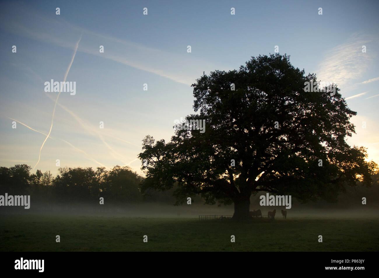 Oude eik op Landgoed Hilverbeek Nederland, Old oak at Estate Hilverbeek Netherlands Stock Photo